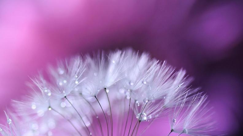 3840x2160-flowers_dandelion-499