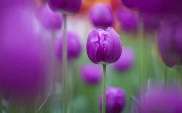 125_purple-tulips-background