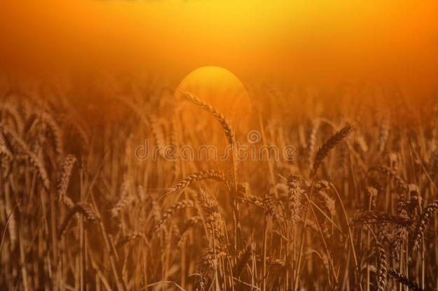 wheat-field-sunrise-photograph-51160283